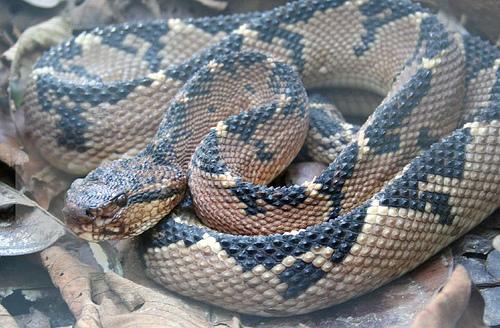 Bushmaster Snake Wallpaper | www.imgkid.com - The Image ...